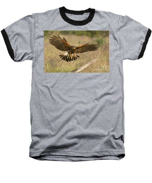 Wild Harris Hawk Landing Baseball T-Shirt by Dave Welling