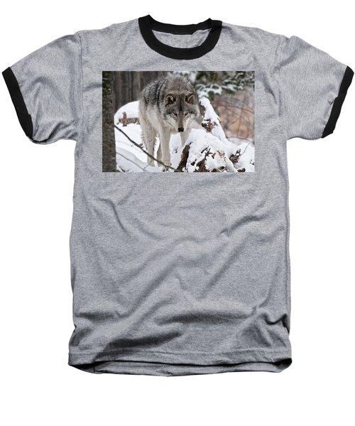 Baseball T-Shirt featuring the photograph Winter Timber Wolf by Wolves Only