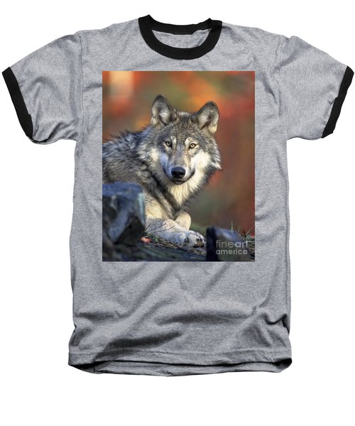 Baseball T-Shirt featuring the photograph Wolf Predator Canidae Canis Lupus Hunter by Paul Fearn