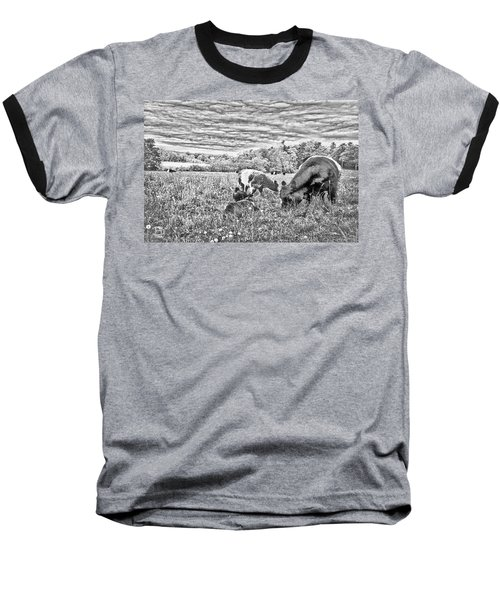 Belted Galloway Beef Cattle Baseball T-Shirt by Daniel Hebard