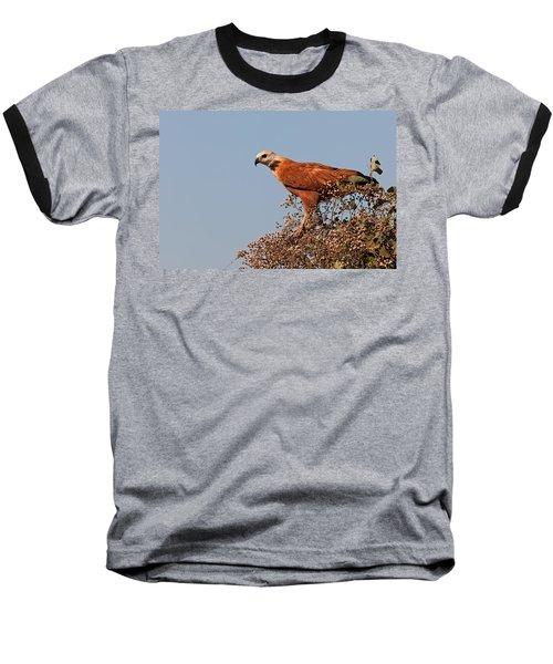 Black-collared Hawk, Pantanal Baseball T-Shirt by Aivar Mikko