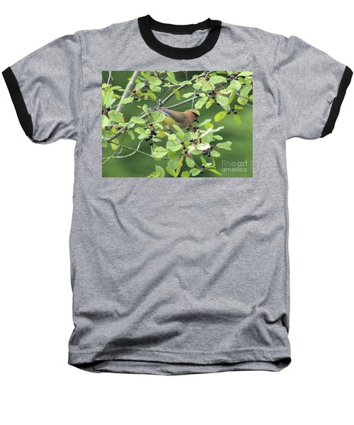 Cedar Waxwing Eating Berries Baseball T-Shirt by Maili Page