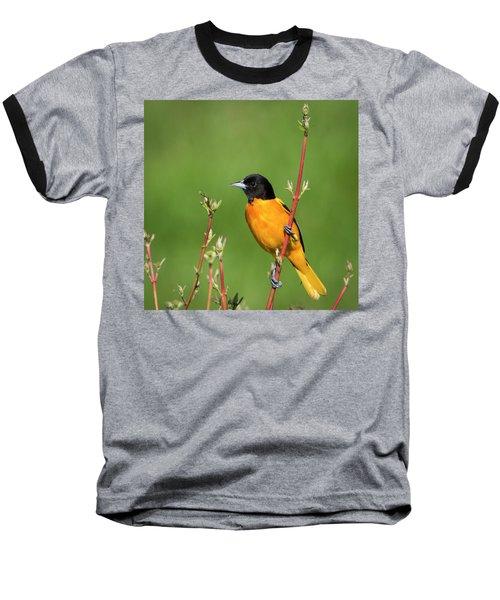 Male Baltimore Oriole Posing Baseball T-Shirt