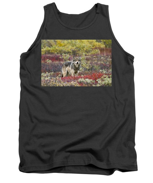 Gray Wolf Canis Lupus Walking Along Tank Top