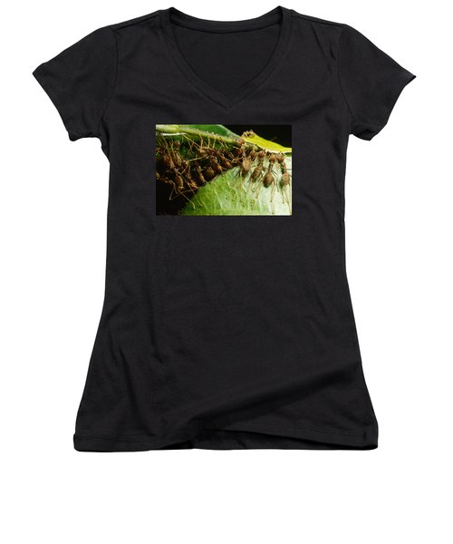 Weaver Ant Group Binding Leaves Women's V-Neck T-Shirt (Junior Cut) by Mark Moffett