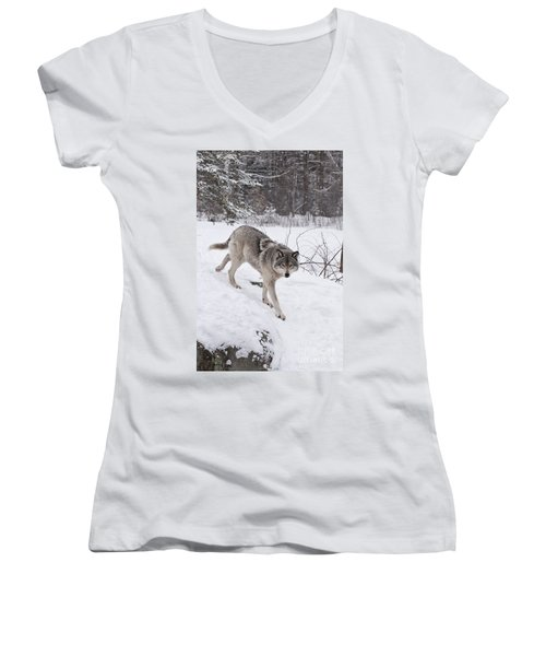 Women's V-Neck T-Shirt (Junior Cut) featuring the photograph Timber Wolf  by Wolves Only