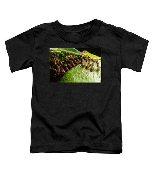 Weaver Ant Group Binding Leaves Toddler T-Shirt by Mark Moffett