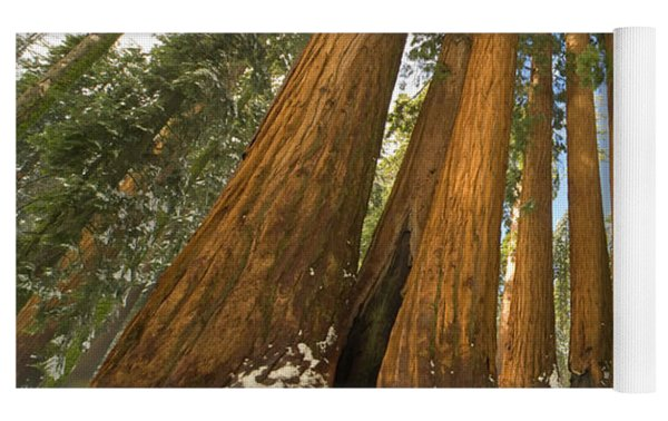 Giant Sequoias Sequoia N P Yoga Mat by Yva Momatiuk John Eastcott