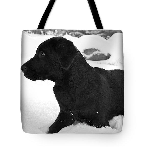 A Black Labrador Retriever Puppy Plays Tote Bag