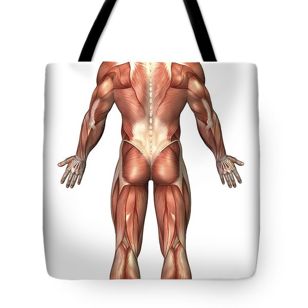 Anatomy Of Male Muscular System, Back Tote Bag by Stocktrek Images