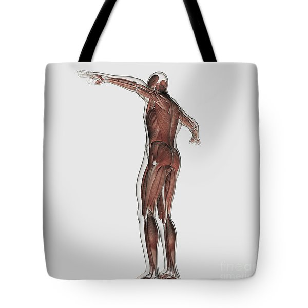 Anatomy Of Male Muscular System Tote Bag by Stocktrek Images