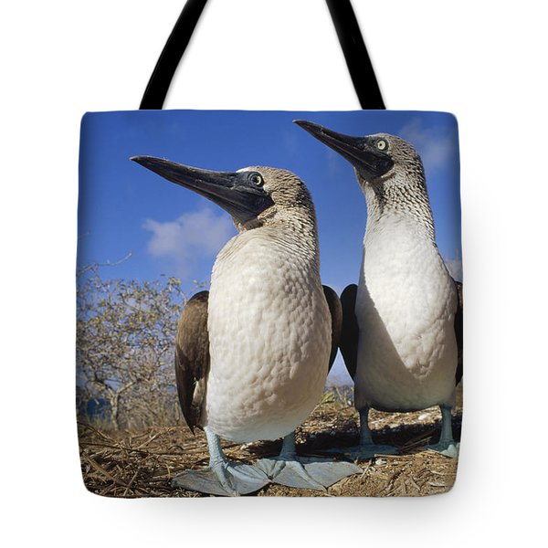 Blue-footed Booby Courting Couple Tote Bag by Tui De Roy