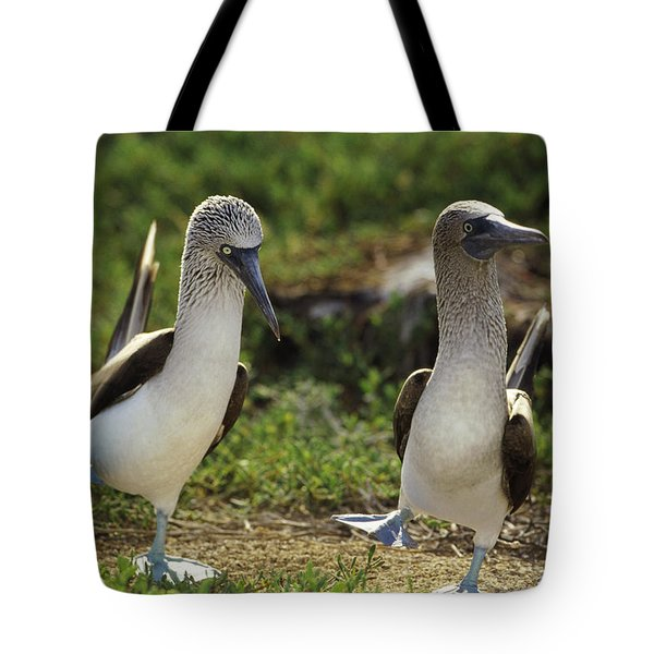 Blue-footed Booby Pair In Courtship Tote Bag by Tui De Roy