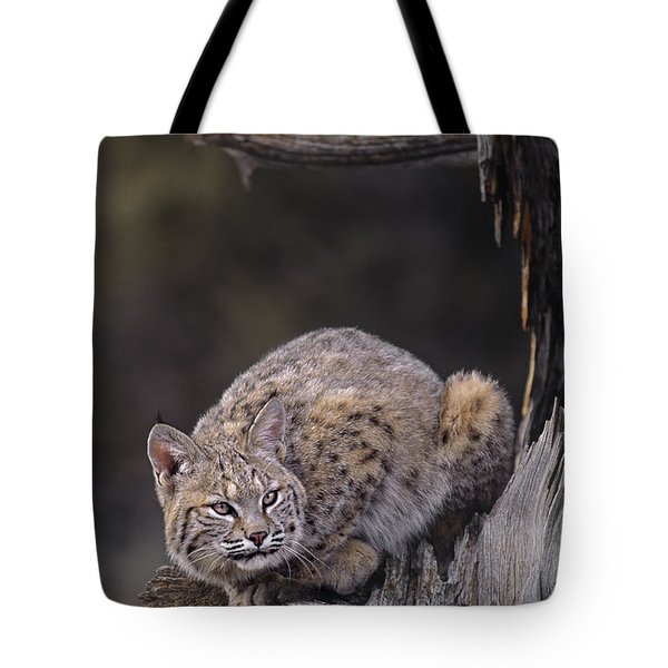 Tote Bag featuring the photograph Crouching Bobcat Montana Wildlife by Dave Welling