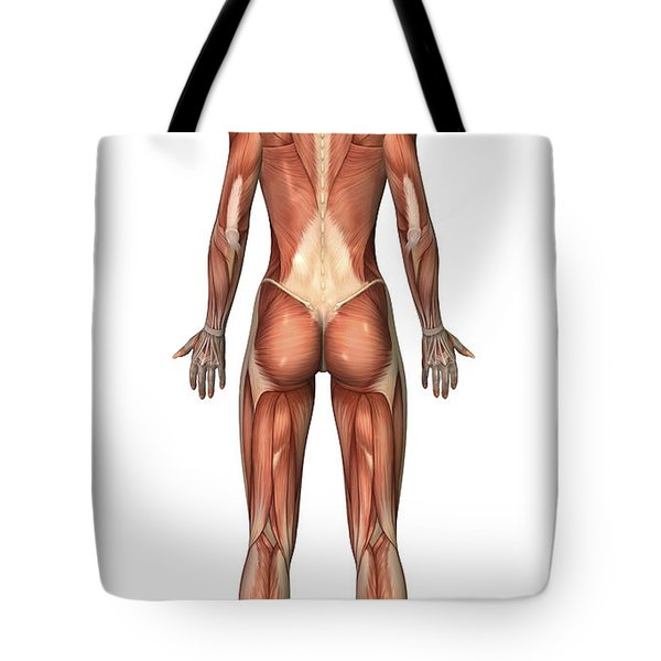 Female Muscular System, Back View Tote Bag by Stocktrek Images