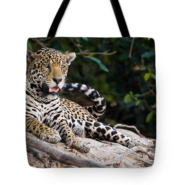 Snarling Jaguar: Jaguar Panthera Onca Snarling, Three Photograph By