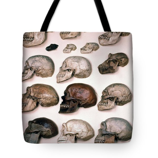 Primate Skulls Apes And Humans Tote Bag by E R Degginger