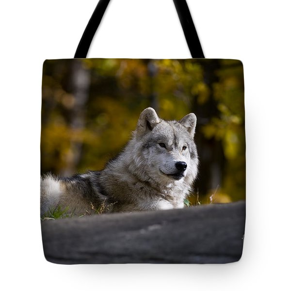 Tote Bag featuring the photograph Resting Arctic Wolf On Rocks by Wolves Only