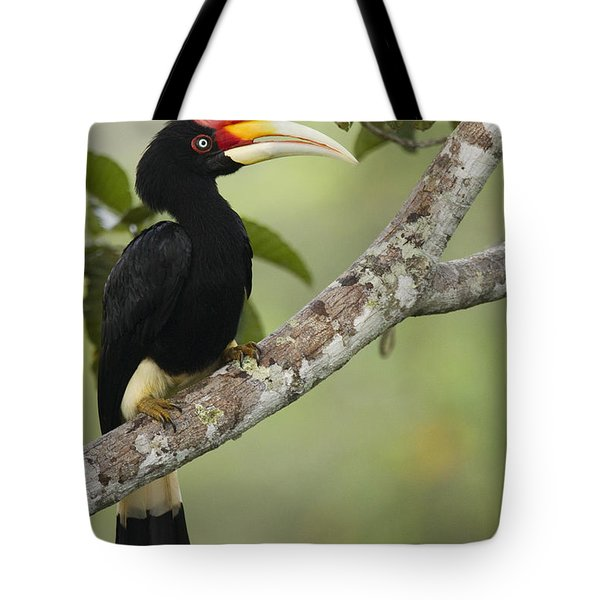 Rhinoceros Hornbill Female Sepilok Tote Bag by Sebastian Kennerknecht