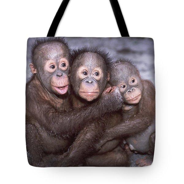 Three Orangutan Babies Tote Bag