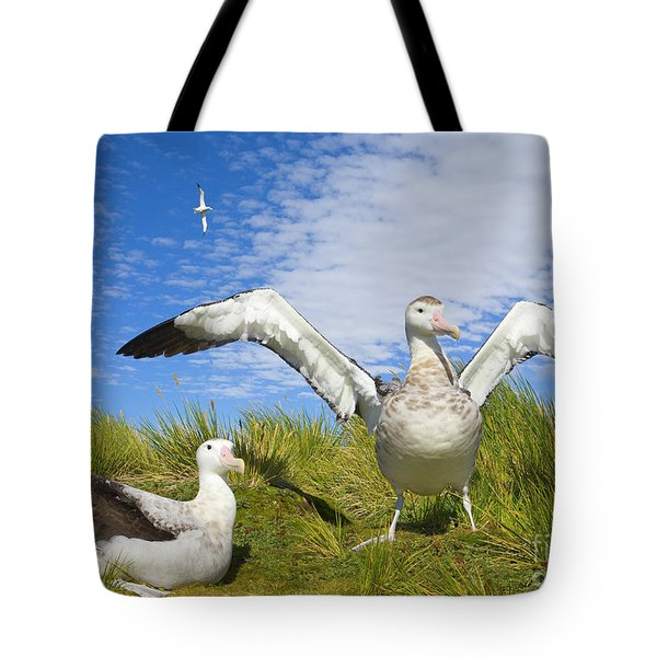 Wandering Albatross Courting  Tote Bag by Yva Momatiuk John Eastcott