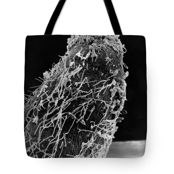 Bacteria On Sorghum Root Tip Tote Bag by Science Source