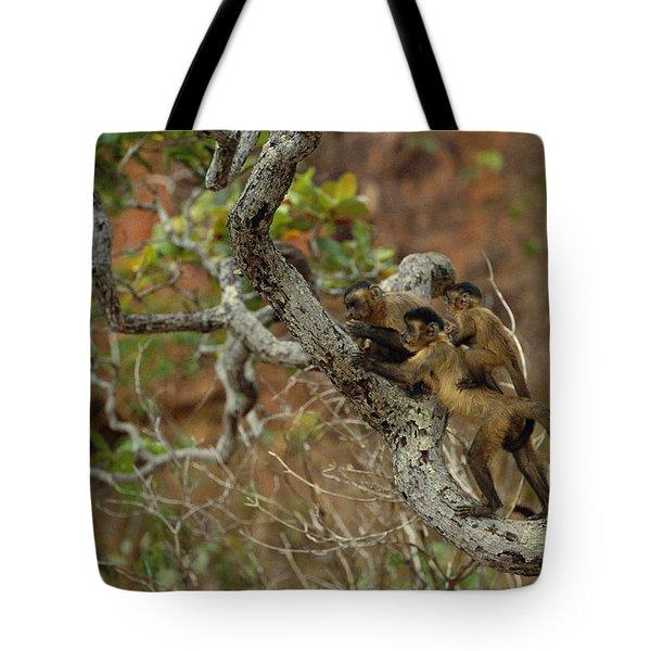 Brown Capuchin Cebus Apella Three Tote Bag by Pete Oxford