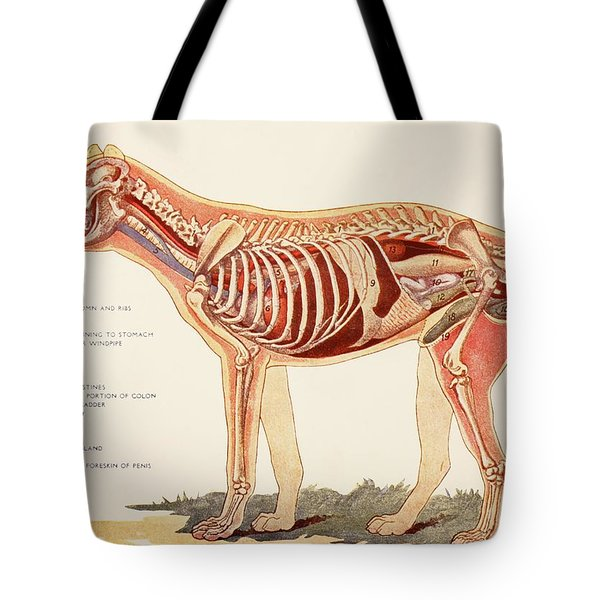 Internal Organs Of A Male Dog.  From Tote Bag by Ken Welsh