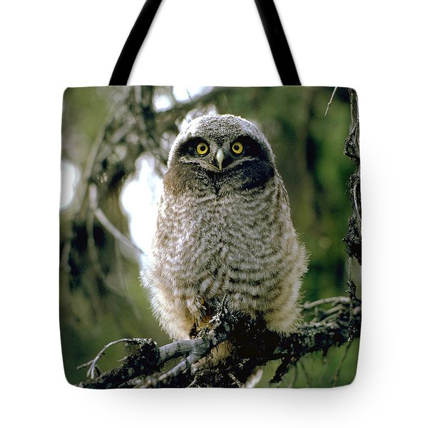 Northern Hawk Owl Fledgeling Tote Bag