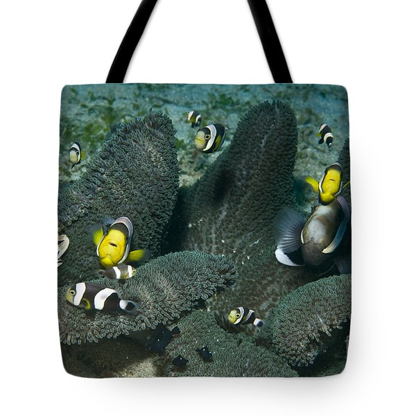 Whole Family Of Clownfish In Dark Grey Tote Bag by Mathieu Meur