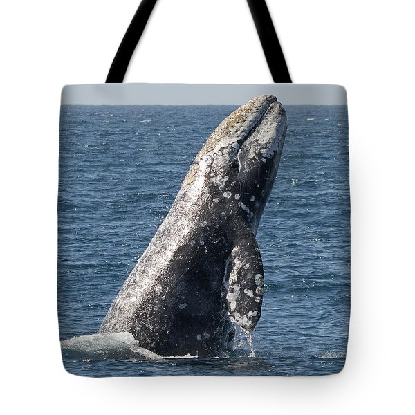 Breaching Gray Whale In Dana Point Tote Bag by Loriannah Hespe
