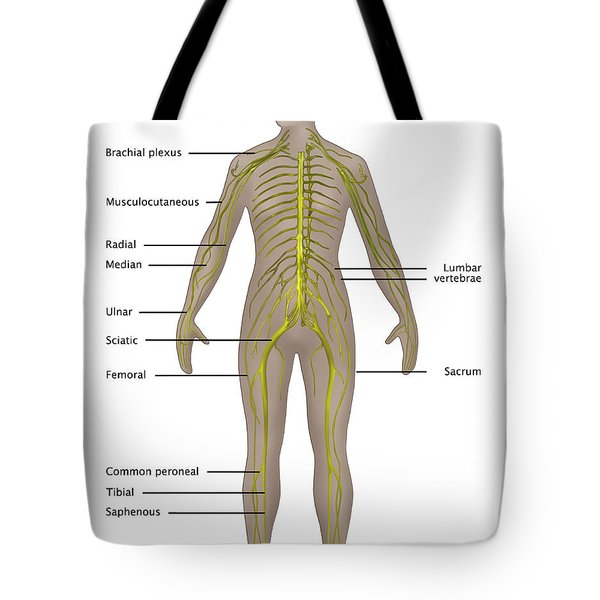 Nervous System In Female Anatomy Tote Bag