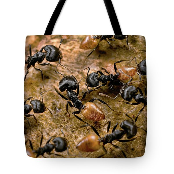 Ant Crematogaster Sp Group Tote Bag by Mark Moffett