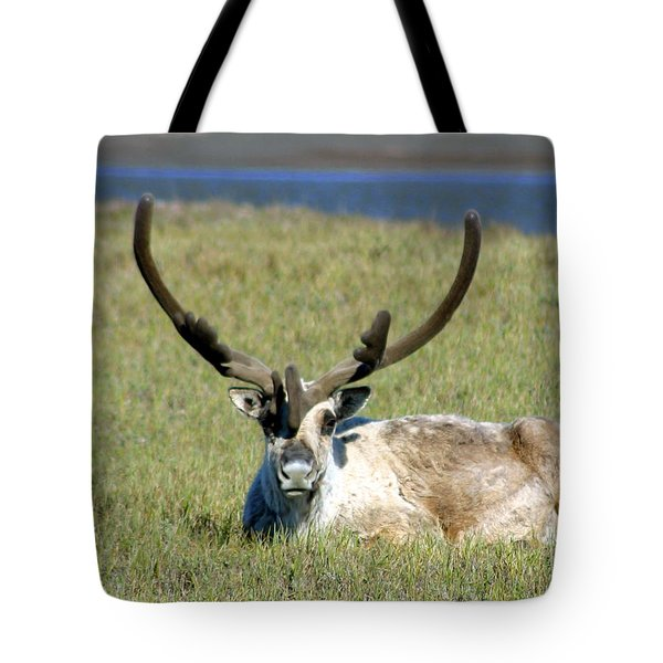 Caribou Resting In Tundra Grass Tote Bag by Anthony Jones