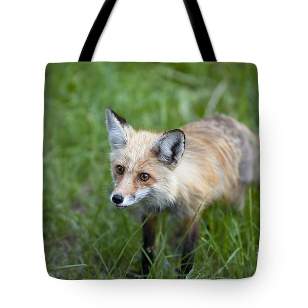 Curious Red Fox Tote Bag
