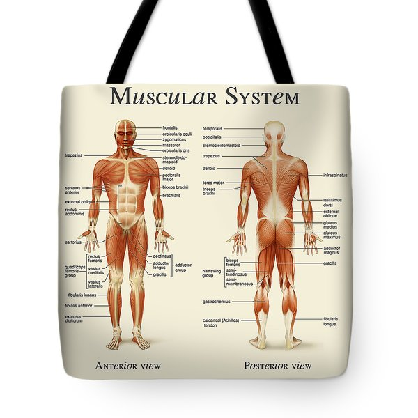 Muscular System Tote Bag by Gina Dsgn