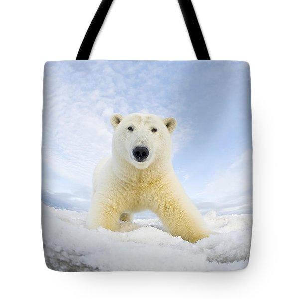 Polar Bear  Ursus Maritimus , Curious Tote Bag by Steven Kazlowski