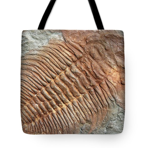 Fossil Of A Trilobites From The Early Ordovician Period Found In Tote Bag