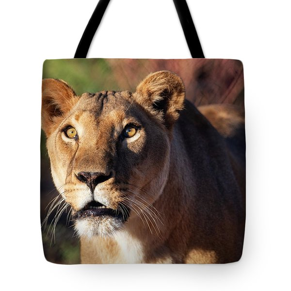 Lioness Looking Up Tote Bag