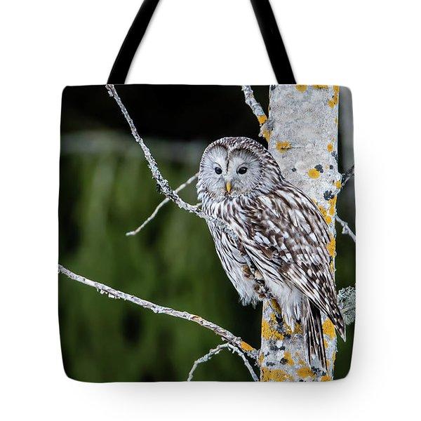 Ural Owl Perching On An Aspen Twig Tote Bag
