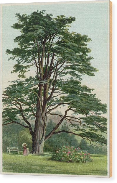 A Cedar Of Lebanon         Date Circa Wood Print