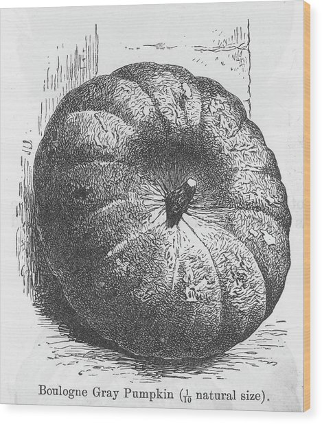 Boulogne Gray Pumpkin Wood Print by Mary Evans Picture Library