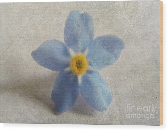 Myosotis 'forget-me-not'- Single Flower Wood Print