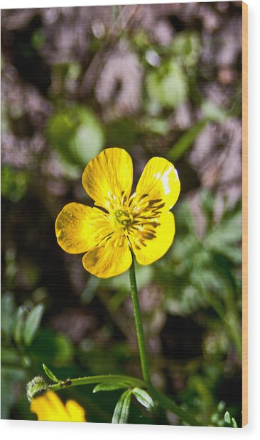 Common Cinquefoil Pla 529a Wood Print