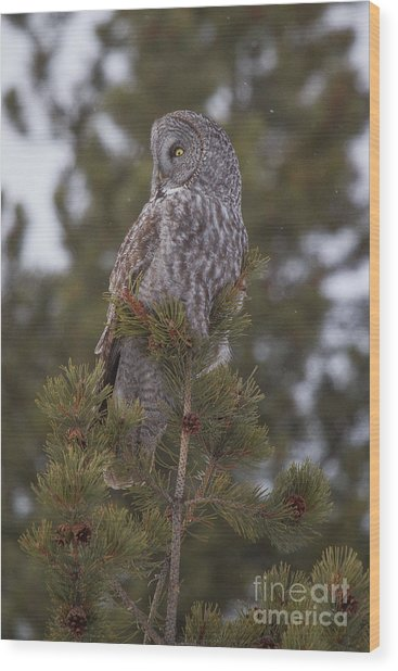 Wood Print featuring the photograph  Great Gray Owl 1 by Katie LaSalle-Lowery