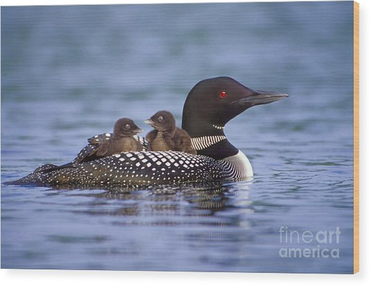Loon Carrying Chicks 44 Wood Print