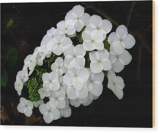 Oak Leaf Hydrangea Wood Print