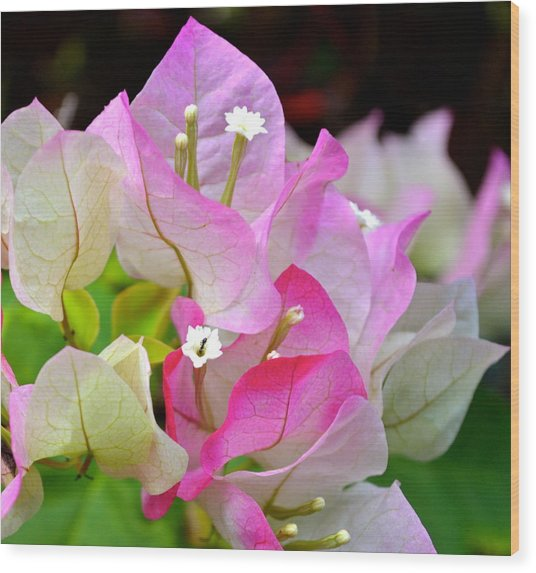 Pink  Bougainvillea ...with A Friend Wood Print
