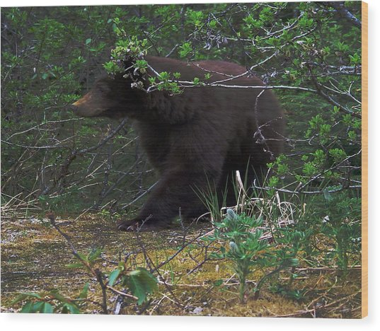 03162015 Black Bear Alaska Wood Print