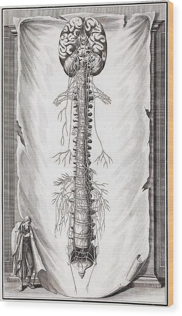 1731 Human Brain Spine Dissection Vesling Wood Print